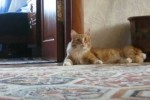 Strange Walking Cat