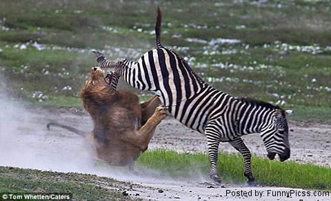 Zebra Kick a Lion