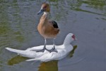 Nice Ride of Duck on Duck